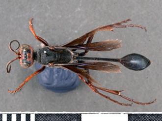 Bộ sưu tập côn trùng 2 Ammophila_calva_SAM_HYM_A009429_type_%20female_dorsal_330