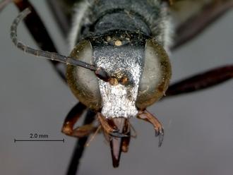 Bộ sưu tập côn trùng 2 Ammophila_calva_SAM_HYM_A009430_male_head_frontal_330