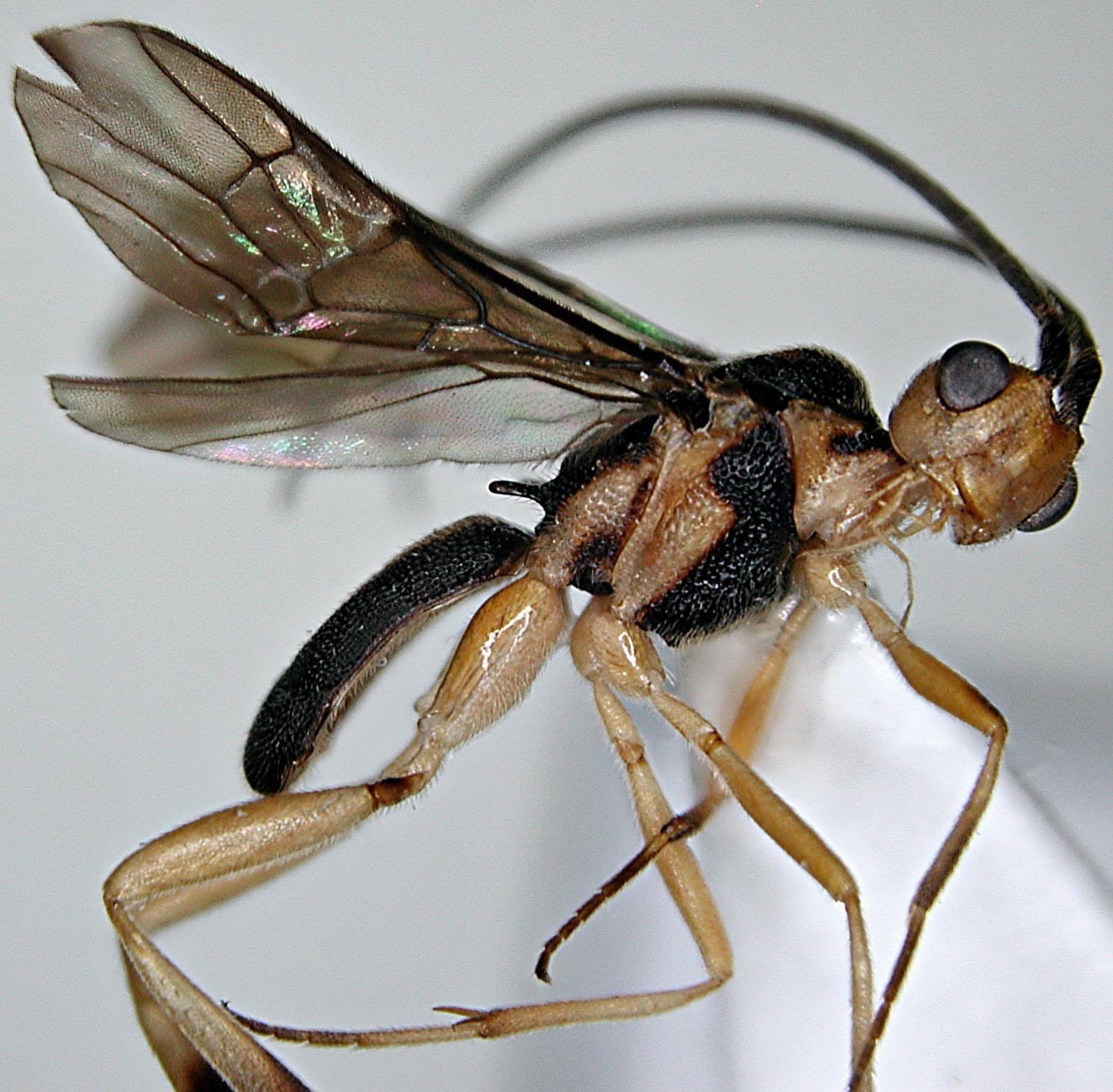 Phanerotomella erena Braet, 2012 . Holotype in: California Academy of ...