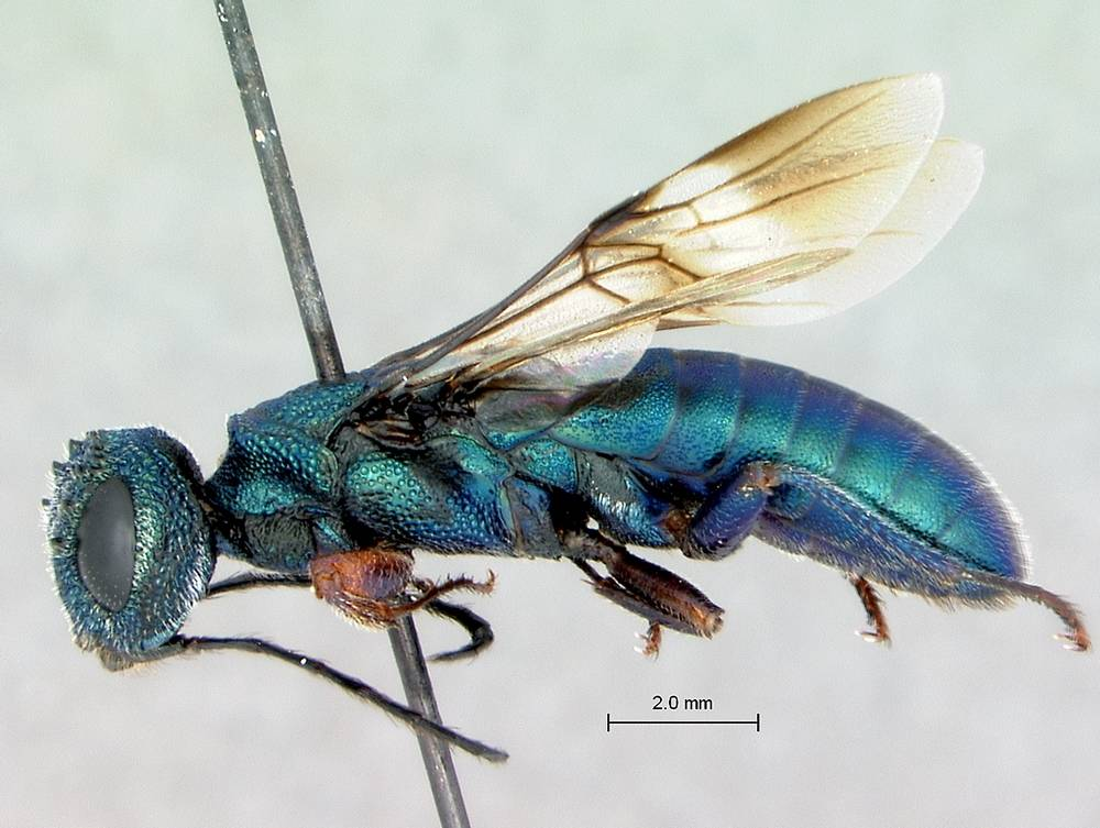 Parastitic Wood Wasp